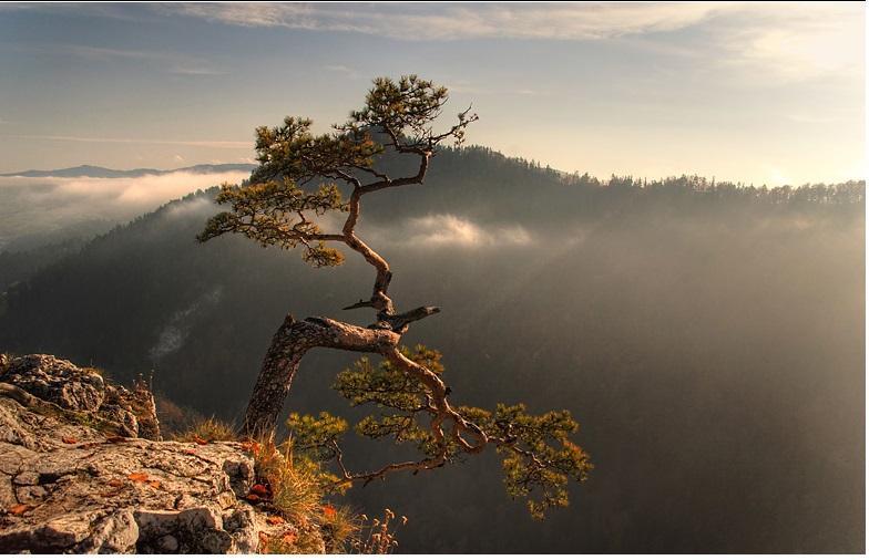 Hình ảnh cây Tùng trên cách núi cao