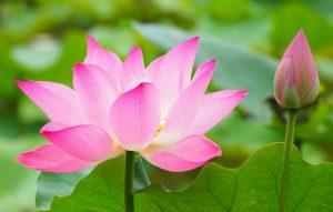 Tranh gỗ hoa sen là gì – Ý nghĩa phong thủy của tranh hoa sen