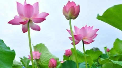 Hoa sen là loài hoa thanh cao thuần khiết